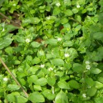 chickweed-1