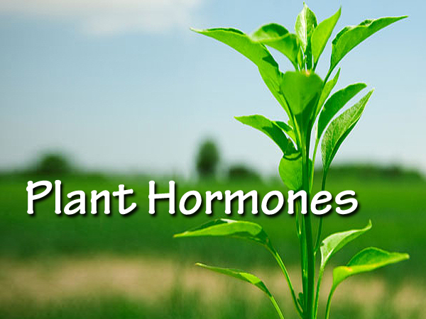 plant hormones Strigolactones (sls) are terpenoid lactones produced mainly in plant roots and initially identified as seed germination stimulants for parasitic weeds.
